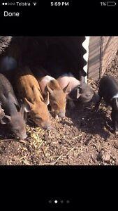 Miniature piglets Bonville Coffs Harbour City Preview