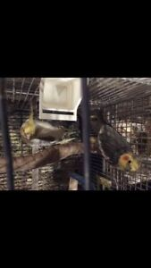 Young 7 and 11 Month Old Cockatiel Pair With Cage