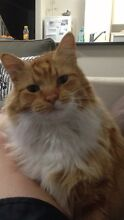 Lost Fluffy Ginger & White Cat Alkimos Wanneroo Area Preview