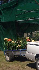 Clivias plant sale 50 % off Maudsland Gold Coast West Preview