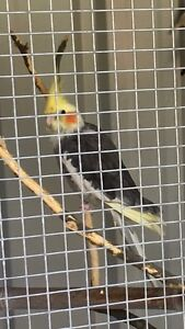Lost cockatiel Helensvale 26/8 Helensvale Gold Coast North Preview