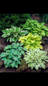Looking for free or cheap shrubs or hostas