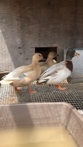 Pastel Call Duck Hatching Eggs For Sale