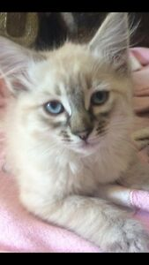 Adorable Ragdoll  X  Birman kittens Noosa Heads Noosa Area Preview