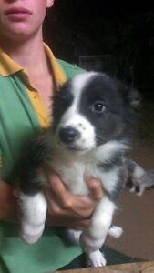 Border collie puppies Mareeba Tablelands Preview