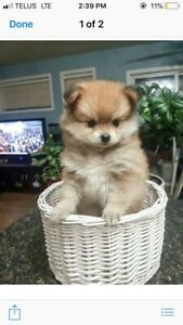 Pomeranian Chihuahua Kijiji In Ontario Buy Sell Save With