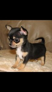 Looking for a black chihuahua puppy