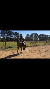 16.2hh TB gelding Palmwoods Maroochydore Area Preview