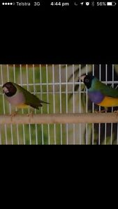 Gouldian finches for sale Lisarow Gosford Area Preview
