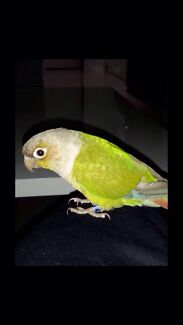 Extremely tame pineapple conure  Thomastown Whittlesea Area Preview