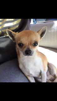 Male chihuahua  Mount Annan Camden Area Preview