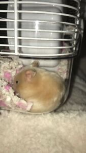 free hamster hinton or edmonton ab