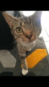 Adopt a gorgeous tabby cat