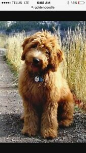 Searching for an adult Labradoodle or Goldendoodle