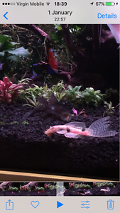 Male and female adult longfin bristlenose Brookvale Manly Area Preview