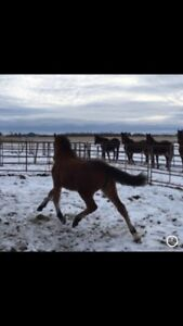 Reg'd 1/2 Friesian X filly, payments welcomed.