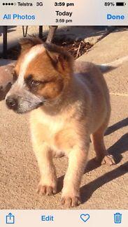 Red heeler puppy's  Albury Albury Area Preview