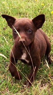 Red Kelpie puppies 8 weeks old ( red dog)  Goulburn 2580 Goulburn City Preview