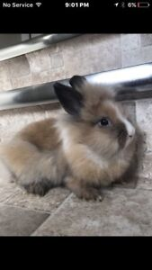 Baby lion head bunny