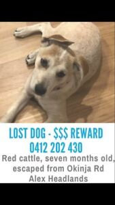 Missing red cattle dog puppie Alex Heads