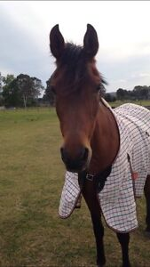 Arab mare for sale Agnes Banks Penrith Area Preview