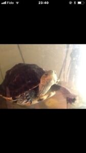 $200 Map Turtle 3y old