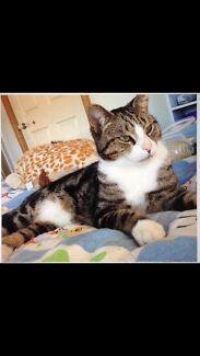 Lost/Missing cat 'SCRATCH' - Hinton 2321