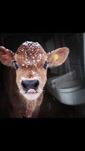 Jersey bull calf