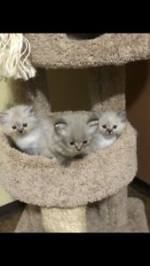 Ragdoll kittens ready to go....