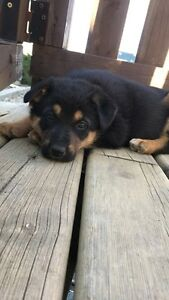 German Shepherd pups for