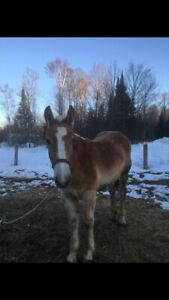 Pulling bred filly