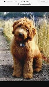 In search of a Labradoodle or Goldendoodle
