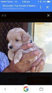 Want to buy Maltese x shitzu or Maltese x toy poodle Wattle Grove Kalamunda Area Preview