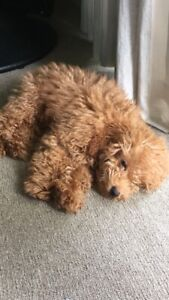 Male Toy Poodle stud
