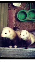 Pet Ferrets need a good loving home Glandore Marion Area Preview