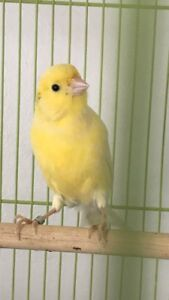 Singing male American singer canaries for sale