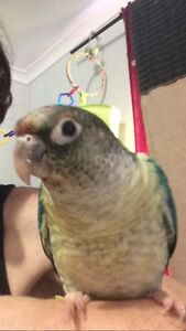 Handraised female blue green cheek conures Varsity Lakes Gold Coast South Preview