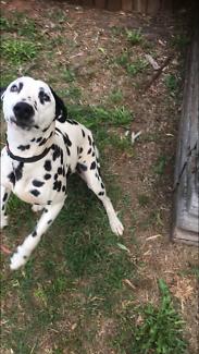 Dalmation male puppy