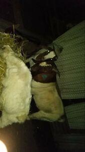 Boer goats Murray Bridge Murray Bridge Area Preview