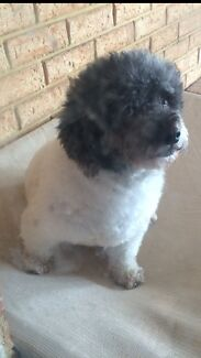 Maltese x Miniature Poodle 8yrs old  South Lake Cockburn Area Preview