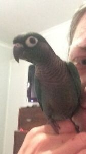 Blue turquoise green cheek conures Burleigh Waters Gold Coast South Preview