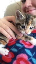 Tortoise Shell kittens for sale Mount Pleasant Melville Area Preview