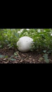 Looking for a puffball mushroom