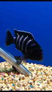 Demasoni FRY African Cichlid Tropical Fish Maitland Maitland Area Preview