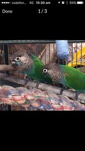 Breeding pair pearly conures Boronia Heights Logan Area Preview