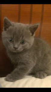 BRITISH SHORTHAIR - BLUE KITTENS - 1 x MALE, 1 x FEMALE Seymour Mitchell Area Preview