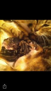 2 purebred marble Bengal kittens for sale.