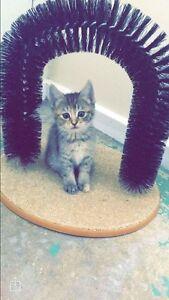 Kitten Bidwill Blacktown Area Preview