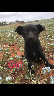Labrador x Kelpie puppies for sale