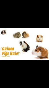 Unwanted guinea pigs Nerang Gold Coast West Preview